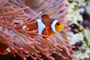 Der Clownfisch Nemo hat viele für das Aquarien Hobby begeistert und zum Aquarium Kauf inspiriert
